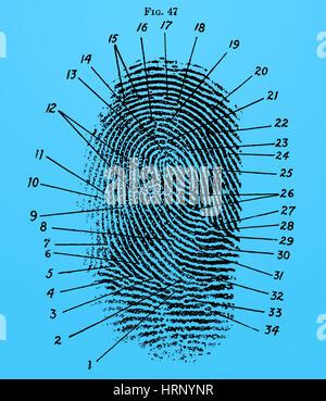 Fingerprint Diagram, 1940 - Stock Photo