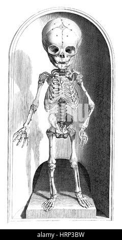 Anatomia humani corporis, Table 101, 1690 - Stock Photo