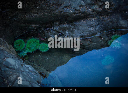 Sea anemones in a tidal pool on 2nd Beach, Olympic National Park, Washington, USA. - Stock Photo