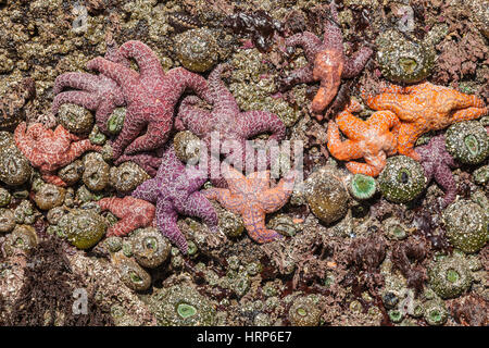 A rock covered with sea anemones and sea stars. Some of the sea stars have sea star wasting disease, 2013 2nd Beach - Stock Photo