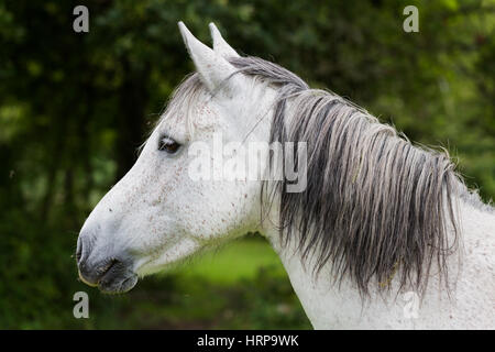 Wild white horse head with grey hair, closeup portrait. Green blurred trees in background - Stock Photo