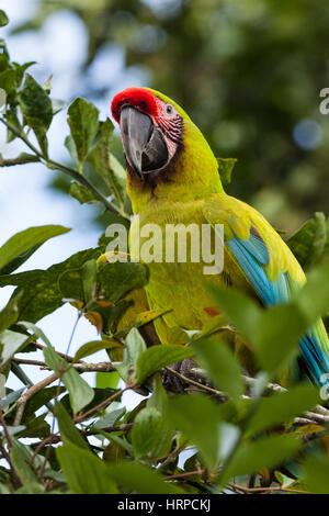 The Great Green Macaw, Ara ambiguus, or Buffon's macaw or the Great Military Macaw, is a large tropical parrot found - Stock Photo