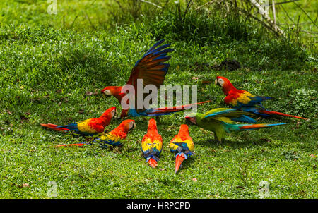 Six Scarlet Macaws, Ara macao, and one Great Green Macaw, Ara ambiguus, on the ground in a farmer's pasture in Costa - Stock Photo