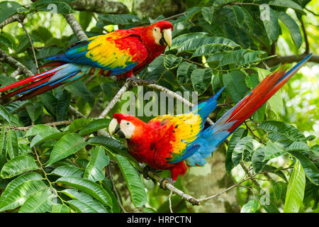 The Scarlet Macaw, Ara macao, is a large, colorful parrot found from Mexico to Brazil.  Photographed here in Costa - Stock Photo