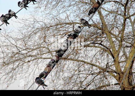 Padua, Italy. Pigeons pigeons in a row on an electric cable. - Stock Photo