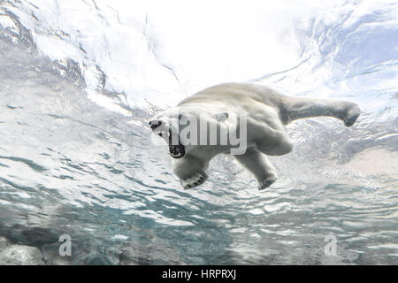 Aggresive Polar Bear at The Journey to Churchill, Assiniboine Park Zoo, Winnipeg, Manitoba, Canada. - Stock Photo