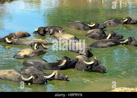 Alvignano, Caserta, Italy. Italian Mediterranean buffaloes bathe in a puddle.  Campania region is the largest producer - Stock Photo