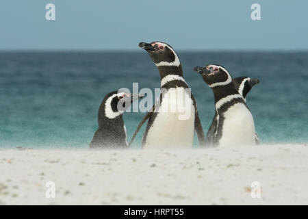 Magellanic Penguins on wind-blown beach, Bleaker island, Falkland Islands - Stock Photo