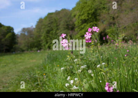 Red Campion, Silene dioica, growing in grassland. Taken May. The Knapp Nature Reserve, Worcestershire, UK. - Stock Photo