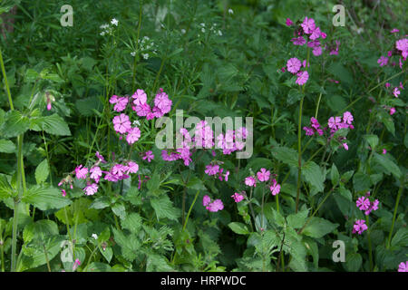 Red Campion, Silene dioica. Taken May. The Knapp Nature Reserve, Worcestershire, UK. - Stock Photo