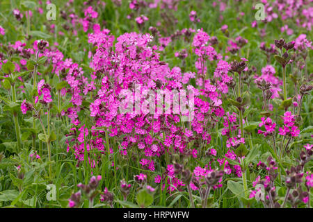Red Campion, Silene dioica, profusion of flowers. Taken June. Bempton Cliffs, Yorkshire, UK. - Stock Photo