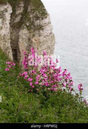 Red Campion, Silene dioica, growing on edge of cliffs. Taken June. Bempton Cliffs, Yorkshire, UK. - Stock Photo