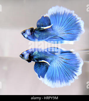 Blue half-moon male betta splendens - Stock Photo