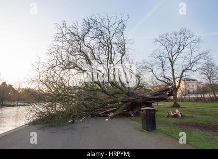 Tree blown down in Storm Doris, (23.03.2017), Regents Park, London, United Kingdom, British Isles - Stock Photo
