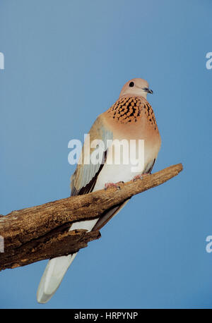 Laughing Dove or Little Brown Dove, (Spilopelia senegalensis cambayensis), perched on tree, Keoladeo Ghana National - Stock Photo