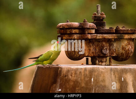 Ring-Necked or Rose-Ringed Parakeet, (Psittacula krameri), drinks water from a water pump, Keoladeo Ghana National - Stock Photo