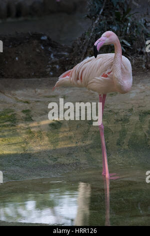 Pink Flamingo Standing in a pond, vertical image, single profile topic - Stock Photo