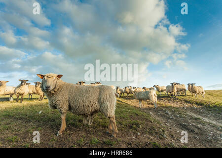 Sheep in South Downs National Park, East Sussex, England. Early spring. - Stock Photo