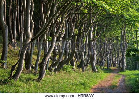 Beech forest on natural beach Quellental, Glücksburg, Schleswig-Holstein, Germany - Stock Photo