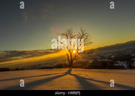 Sun shines through bare tree in winter, sunrise behind Allgäu Alps, Bavaria - Stock Photo