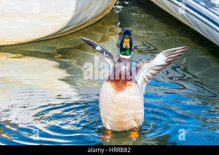 A high spirited Mallard duck flapping its wings and splashing in the sea water among small boats. - Stock Photo