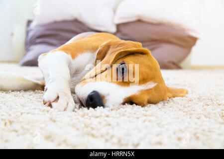 Tired dog on carpet. Sad beagle on floor. Dog lying on soft carpet after training. Beagle with sad opened eyes indoors. - Stock Photo