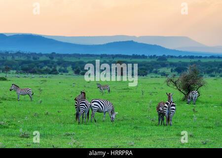 Scenic savannah sunset landscape with grazing zebras - Stock Photo