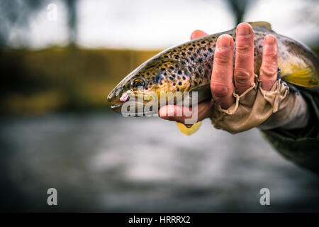 Brown trout caught on a wet fly in Wales, England, fly fishing - Stock Photo