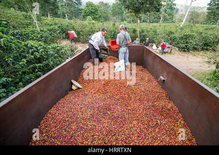 Coffee workers distributing freshly picked coffee cherries in the back of a truck on a coffee farm in Aquires, Costa - Stock Photo