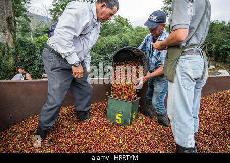 Coffee workers stand in the back of a truck, piling freshly picked coffee cherries into smaller bins for distribution - Stock Photo