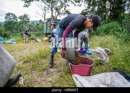 A coffee worker piles freshly picked coffee cherries into smaller bins for distribution on a coffee farm in Aquire, - Stock Photo