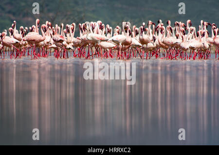 Lesser Flamingos (Phoeniconaias minor) standing and reflected in Lake Bogoria National Park, Kenya - Stock Photo