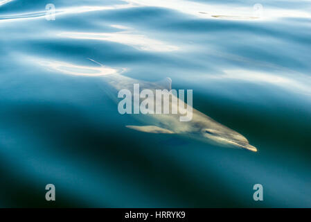 Moray Firth Bottlenose Dolphin - Stock Photo