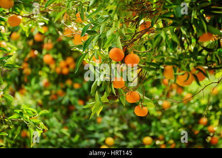 Tangerine sunny garden with green leaves and ripe single fruit Stock ...