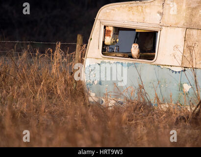 A wild adult Barn owl (Tyto alba) adopts an abandoned caravan as a roosting/nesting site, Norfolk - Stock Photo