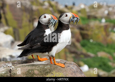 Atlantic Puffin, Fratercula arctica with lesser sand eels also called sand lance, Ammodytes tobianus, Farne islands, - Stock Photo