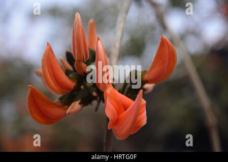 """Butea Monosperma, also known as """"Flame of the forest"""" is in full bloom on a tree at Dhaka, Bangladesh. Butea Monosperma - Stock Photo"""