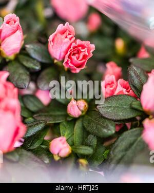 Pink azalea flowers in bouquet macro - Stock Photo