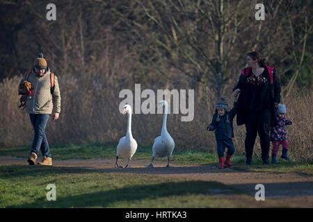 Mute Swan (Cygnus olor) walking with a family - Stock Photo