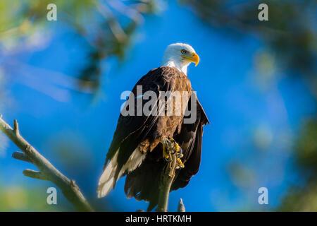 A bald eagle (Haliaeetus leucocephalus) surveys the landscape from a tree. - Stock Photo