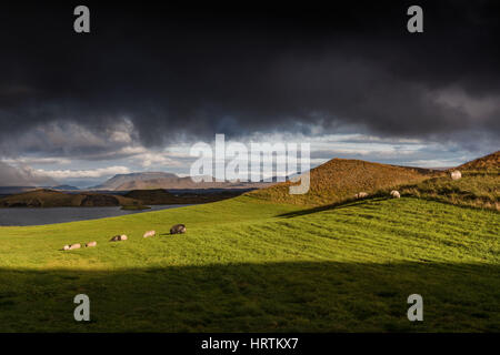 Myvatn, Iceland - The last of the light at dusk catches a herd of sheep on the side of a psudo crater at the shore - Stock Photo