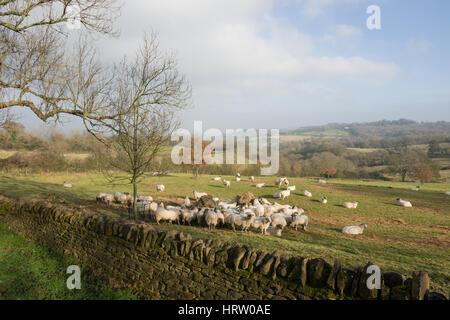 Sheep gather to feed around a hay feeder, Saintbury, the Cotswolds, Gloucestershire, England, United Kingdom - Stock Photo