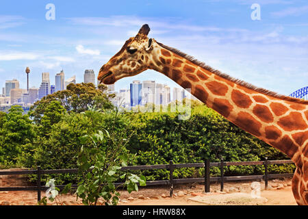 Giraffe head and long neck during feeding time rising above Sydney city CBD and arch of Harbour bridge. - Stock Photo