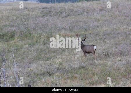 Mule deer (Odocoileus hemionus), Theodore Roosevelt National Park, ND, USA - Stock Photo