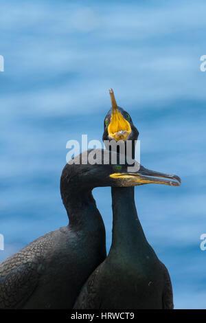 a pair of European Shag (Phalacrocorax aristotelis) enagaged in courtship display, Farne Isles; Northumberland; - Stock Photo