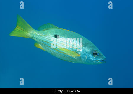 Dory snapper (Lutjanus fulviflamma) underwater in the tropical Red Sea - Stock Photo