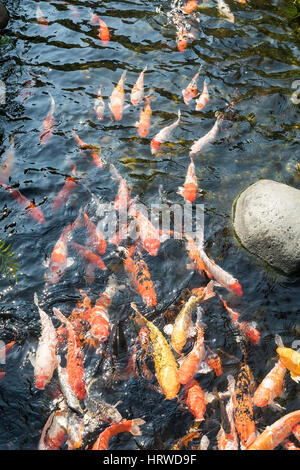 koi fishes in the pond - Stock Photo