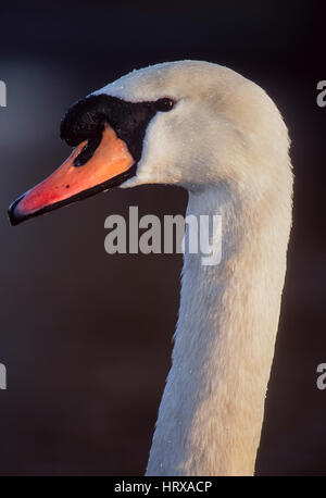 Mute Swan, (Cygnus olor), male bird, Regents Park, London, United Kingdom - Stock Photo