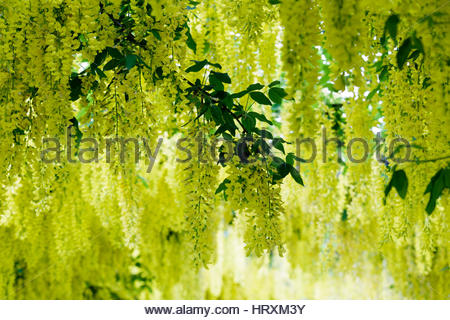 Gorgeous Laburnum Arch Stock Photo Royalty Free Image   Alamy With Marvelous Laburnum X Waterii Vossii  Stock Photo With Comely Garden Slope Also National Gardens Of Wales In Addition Shops At Jersey Gardens Mall And Gardens In Kent As Well As Garden Centre Inverurie Additionally Hampstead Garden City From Alamycom With   Marvelous Laburnum Arch Stock Photo Royalty Free Image   Alamy With Comely Laburnum X Waterii Vossii  Stock Photo And Gorgeous Garden Slope Also National Gardens Of Wales In Addition Shops At Jersey Gardens Mall From Alamycom