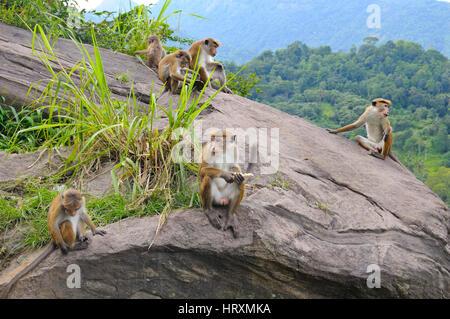 family of wild monkeys on the ledge - Stock Photo